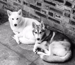 2 Female Siberian Huskies - Sisters